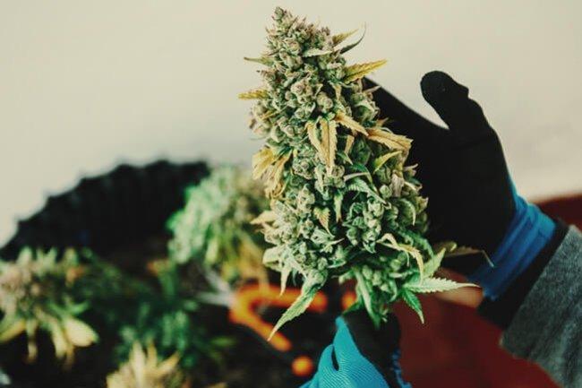 Investire in Cannabis: le migliori Azioni di Marijuana da Comprare nel 2021